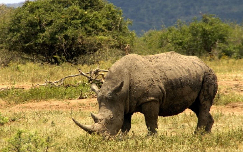 Covid 19 pune in pericol viata rinocerilor